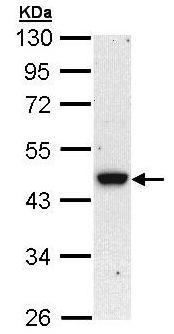 Western blot - Anti-BRCC45 antibody (ab95985)