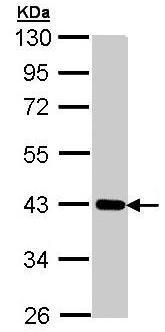Western blot - Anti-CRTAP antibody (ab95988)