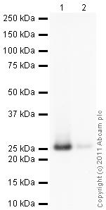 Western blot - Anti-Glutathione S Transferase alpha 1 antibody (ab96043)