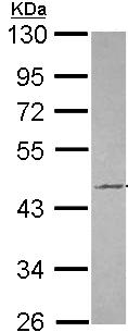 Western blot - Anti-Tuftelin 1 antibody (ab96057)