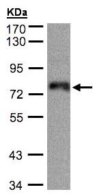 Western blot - Anti-ZNF7 antibody (ab96090)
