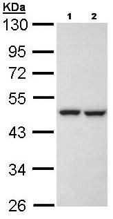 Western blot - Anti-KRR1 antibody (ab96093)