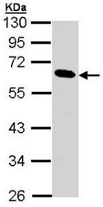 Western blot - Anti-Pancreatic Lipase antibody (ab96100)