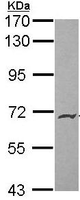 Western blot - Anti-Endoglycan antibody (ab96197)