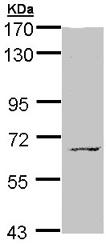 Western blot - Anti-MPP3 antibody (ab96235)