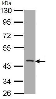 Western blot - Anti-CD1b antibody (ab96329)