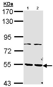 Western blot - Anti-PDE1A antibody (ab96336)