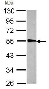 Western blot - Anti-Glycogenin 2 antibody (ab96359)