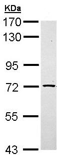Western blot - Anti-TXNDC3 antibody (ab96396)