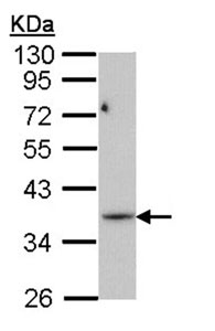 Western blot - Anti-PRPS1L1 antibody (ab96437)