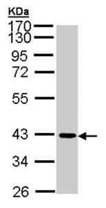 Western blot - Anti-Junctional Adhesion Molecule 2 antibody (ab96465)