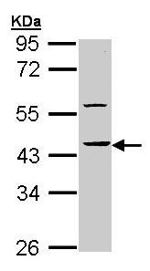 Western blot - Anti-HS1BP3 antibody (ab96472)