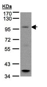 Western blot - Anti-GPCR6A antibody (ab96504)