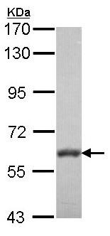 Western blot - Anti-VAM1 antibody (ab96527)
