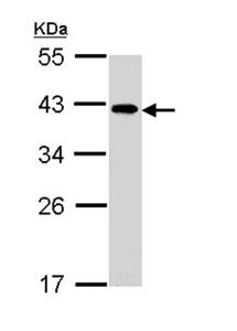 Western blot - Anti-EIF2B2 antibody (ab96574)