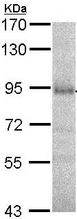 Western blot - Anti-DPP8 antibody (ab96582)