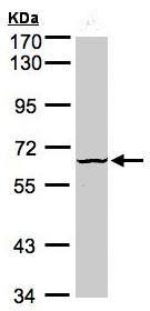 Western blot - Anti-DYRK3 antibody (ab96617)