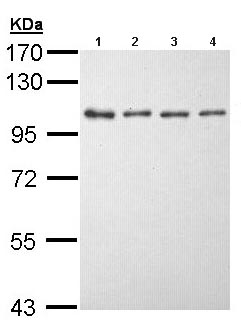 Western blot - Anti-EEF2K antibody (ab96685)