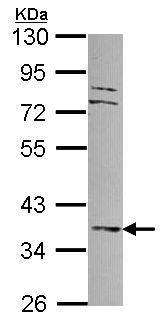 Western blot - Anti-DUSP6 antibody (ab96750)