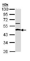 Western blot - Anti-APBB3 antibody (ab96814)