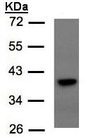 Western blot - Anti-TCF19 antibody (ab96828)
