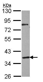 Western blot - Anti-GPCR GPR45 antibody (ab97270)