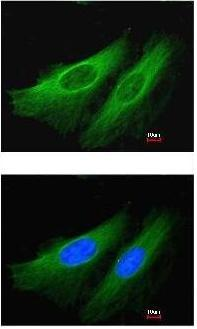 Immunocytochemistry/ Immunofluorescence - Anti-HMGCL antibody (ab97293)