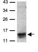 Western blot - Anti-I-309 antibody (ab97320)