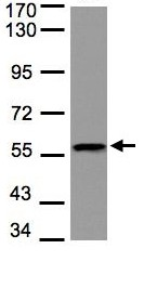 Western blot - Anti-DUSP8 antibody (ab97324)