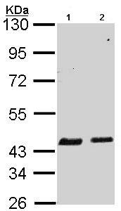 Western blot - Anti-SerpinB6 antibody (ab97330)