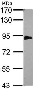 Western blot - Anti-EML1 antibody (ab97342)