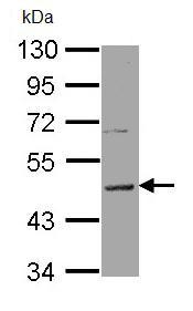 Western blot - Anti-HRH3 antibody (ab97450)