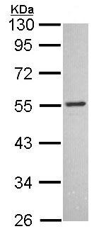 Western blot - Anti-MCHR antibody (ab97509)