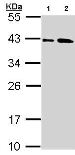 Western blot - Anti-SAE1 antibody (ab97523)