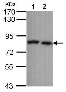 Western blot - Anti-Calpain 5 antibody (ab97534)