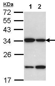Western blot - Anti-REA antibody (ab97538)