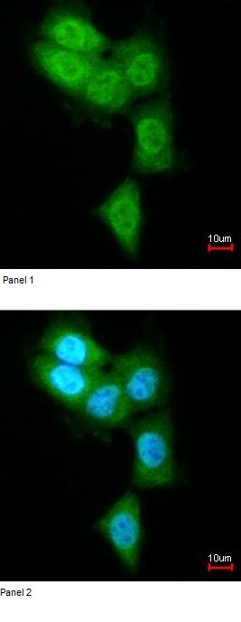 Immunocytochemistry/ Immunofluorescence - Anti-Proteasome 20S LMP7 antibody (ab97584)