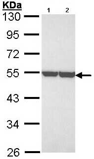 Western blot - Anti-ENO1 antibody (ab97586)