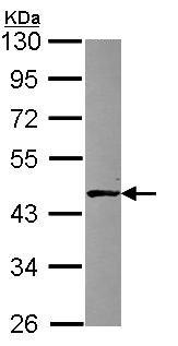 Western blot - Anti-ALKBH1 antibody (ab97589)