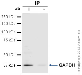 Immunoprecipitation - Anti-GAPDH antibody (ab97626)