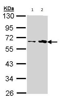 Western blot - Anti-Fukutin antibody (ab97637)