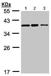 Western blot - Anti-C9orf78 antibody (ab97644)
