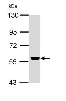Western blot - Anti-ADCK4 antibody (ab97649)