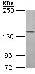 Western blot - Anti-DNA Polymerase gamma antibody (ab97661)