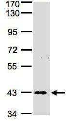 Western blot - Anti-ZNF211 antibody (ab97665)
