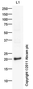 Western blot - Anti-GSC2 antibody (ab97747)