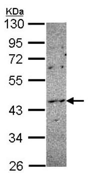 Western blot - Anti-NOXO1 antibody (ab97788)