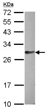 Western blot - Anti-FAM122B antibody (ab97797)