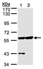 Western blot - Anti-CPNE3 antibody (ab97919)