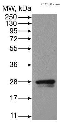 Western blot - Anti-Rab1A antibody (ab97956)